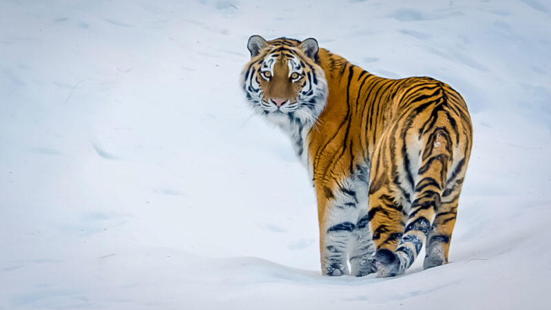 Filming Siberian Tigers For NETFLIX Our Planet